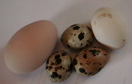 chicken Eggs - quail eggs